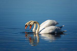 swan-4109727_1920
